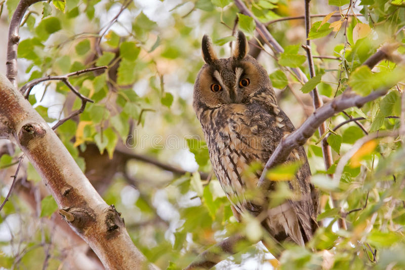 Download Long eared owl stock photo. Image of animal, branch, blue - 31528478