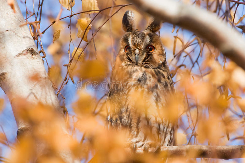 Download Long eared owl stock image. Image of light, asio, eared - 32465867