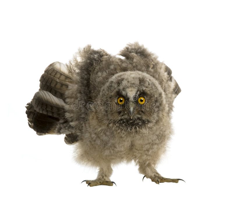 Long-eared Owl - Asio otus (7 weeks) royalty free stock photo