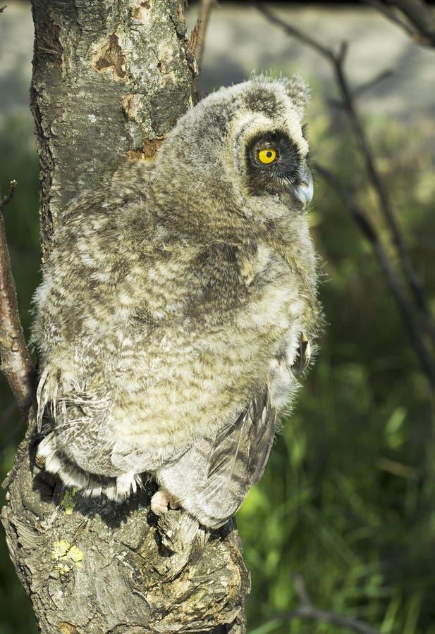 Long-eared Owl (Asio Otus) Stock Photos