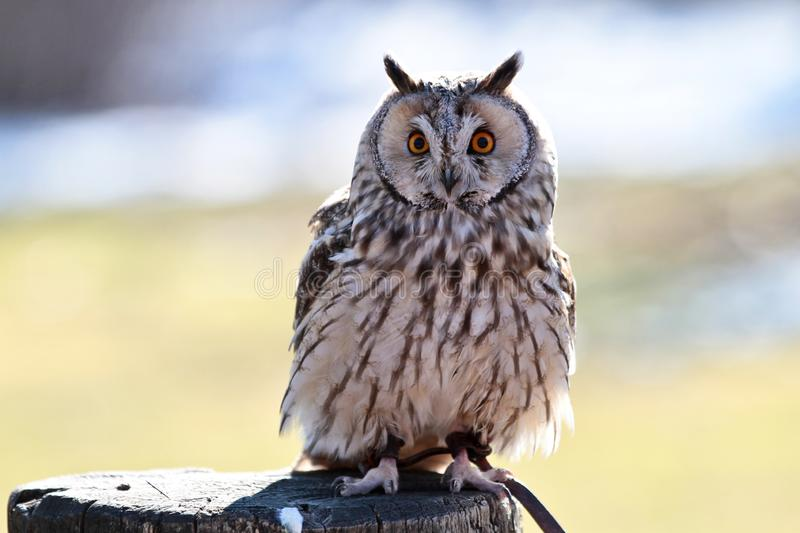 The long-eared owl, Asio otus in a german nature park stock photography