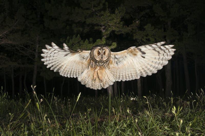 Long-eared owl Asio otus, in flight, flying royalty free stock photo