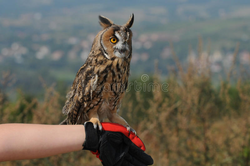 Long-eared Owl (Asio otus, previously Strix otus). Tame Long-eared Owl (Asio otus, previously Strix otus) sitting on hand royalty free stock images