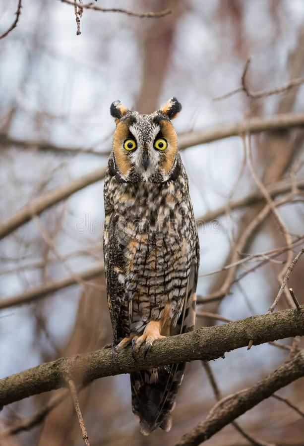 Long-Eared owl on a branch stock image