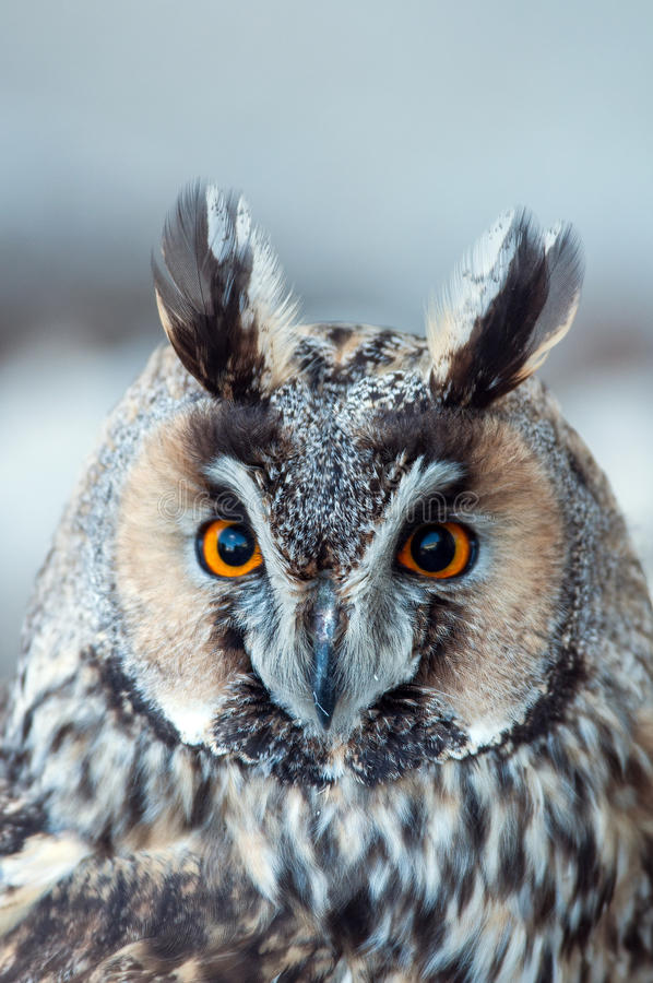 Long-eared owl. On atree royalty free stock photography