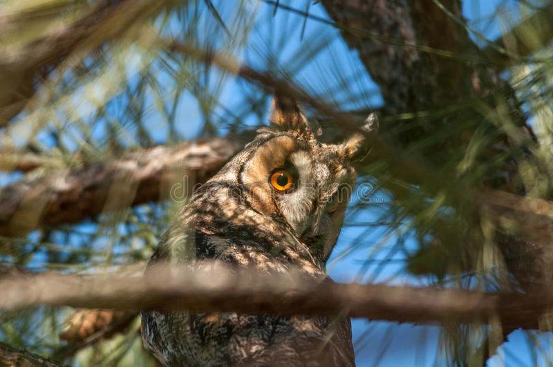 Long-eared owl. On atree stock image