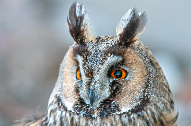 Long-eared owl. On atree stock photo