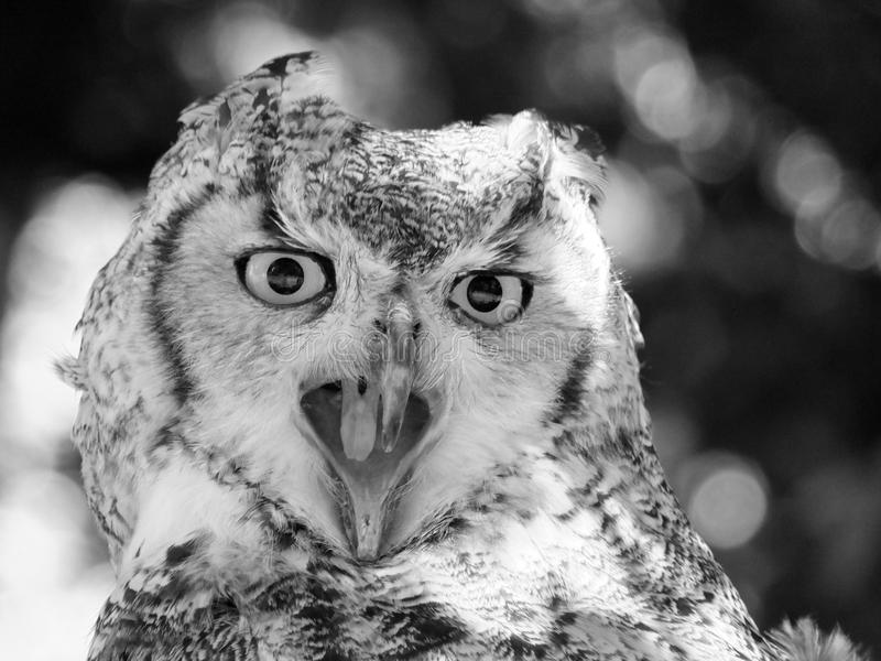Long eared owl close up face royalty free stock images