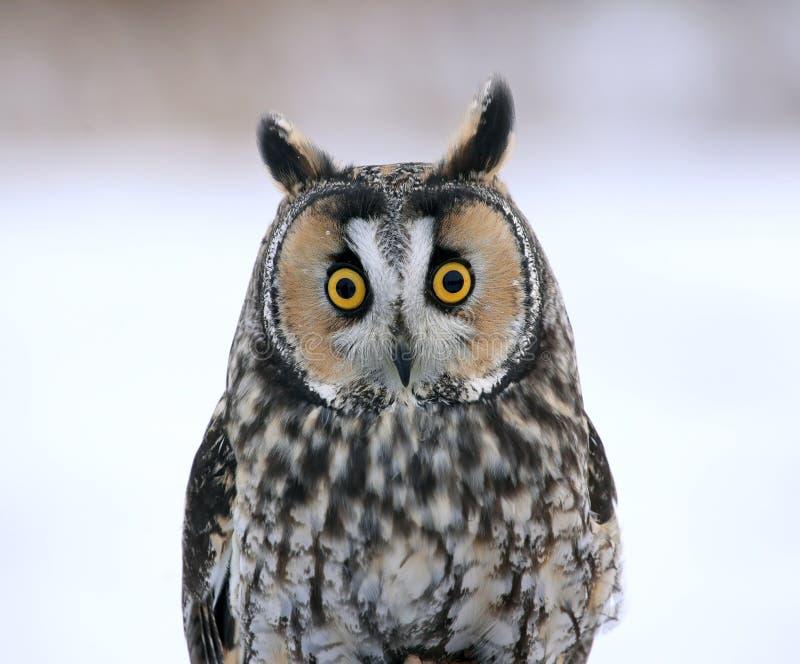 Long-eared Owl Face-to-Face Stock Photo