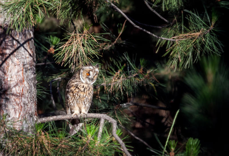 Long eared owl in the forest royalty free stock photos