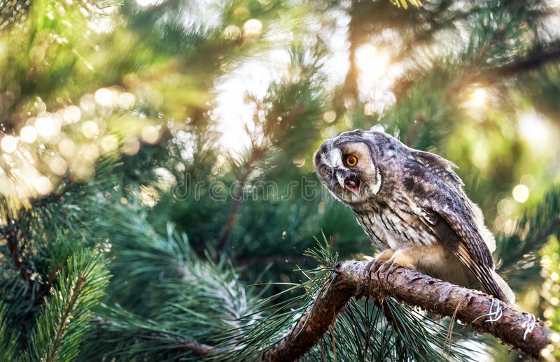 Long eared owl in the forest stock images