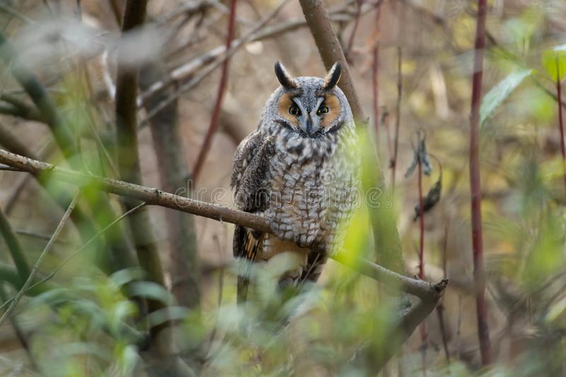Download Long-eared Owl stock photo. Image of leslie, conservation - 104237904