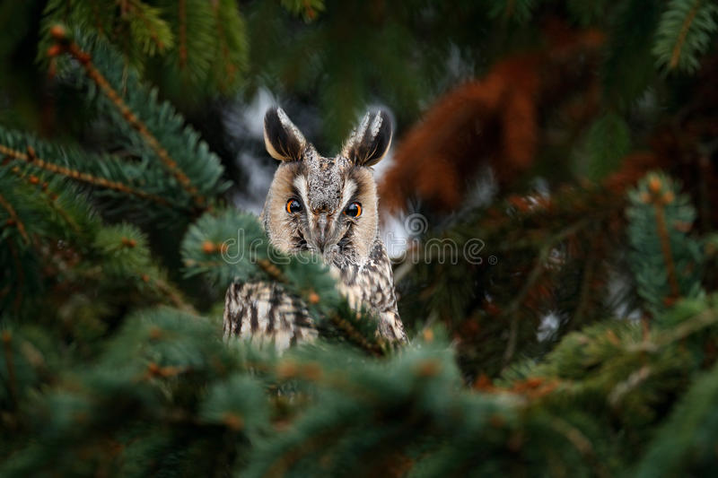 Long-eared Owl sitting on the branch in the fallen larch forest during autumn. Owl hidden in the forest. Wildlife scene from the n. Ature stock photos