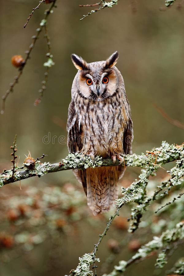 Long-eared Owl sitting on the branch in the fallen larch forest during autumn. Owl in nature wood nature habitat. Bird sitting on. Long-eared Owl sitting on the royalty free stock photo