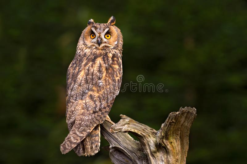 Long-eared Owl sitting on the branch in the fallen larch forest during dark day. Owl hidden in the forest. Wildlife scene from the. Long-eared Owl sitting on the stock image