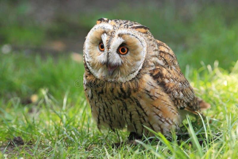 Long-eared owl stock photo