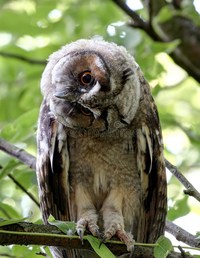 Long eared owl with tilted head. Close up of a wild long eared owl with big orange eyes and tilted head resting on a tree on a hot summer day stock photo