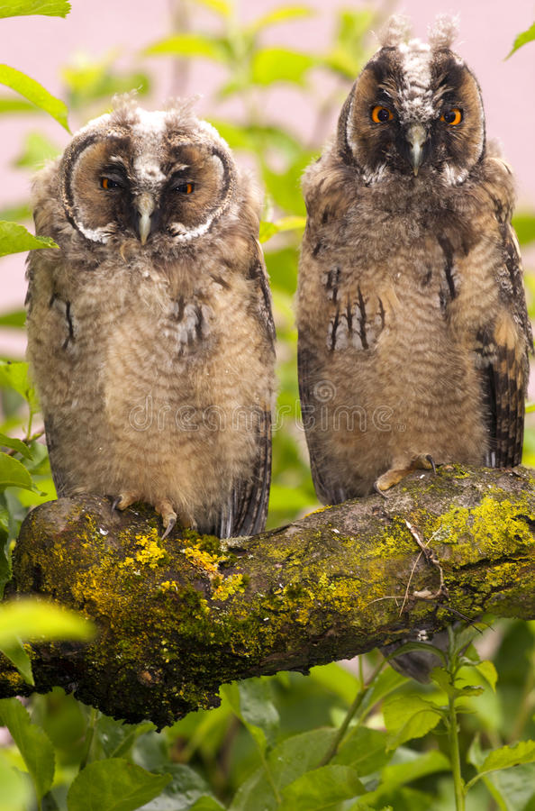 Long-eared owls royalty free stock image