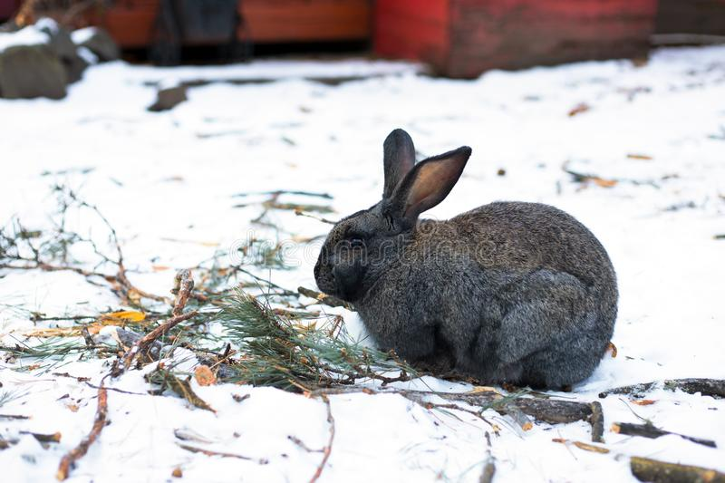 Long-eared rabbit in the Altai mountains stock photography