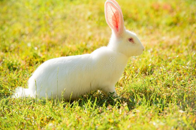 Long-eared white rabbit on green grass in summer day stock photography