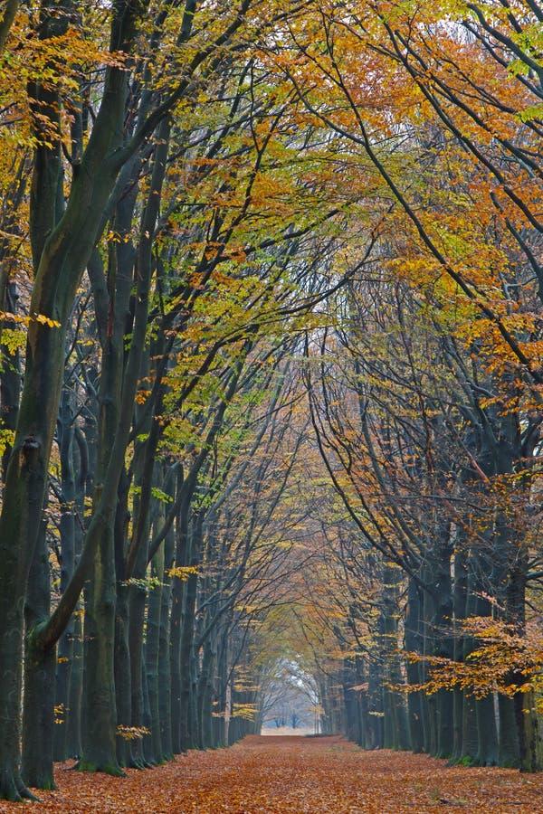 Long et droit chemin à travers une forêt de hêtre photo stock