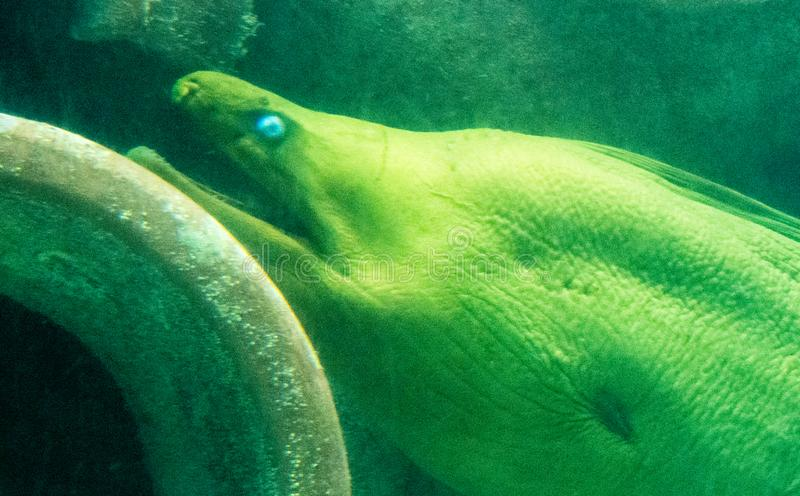 Big yellow eel with blue eyes royalty free stock images