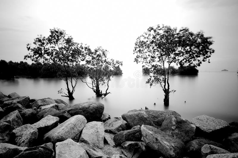 Long exposure shoot and soft focus black and white image of mangrove tree surrounded by sea royalty free stock photography