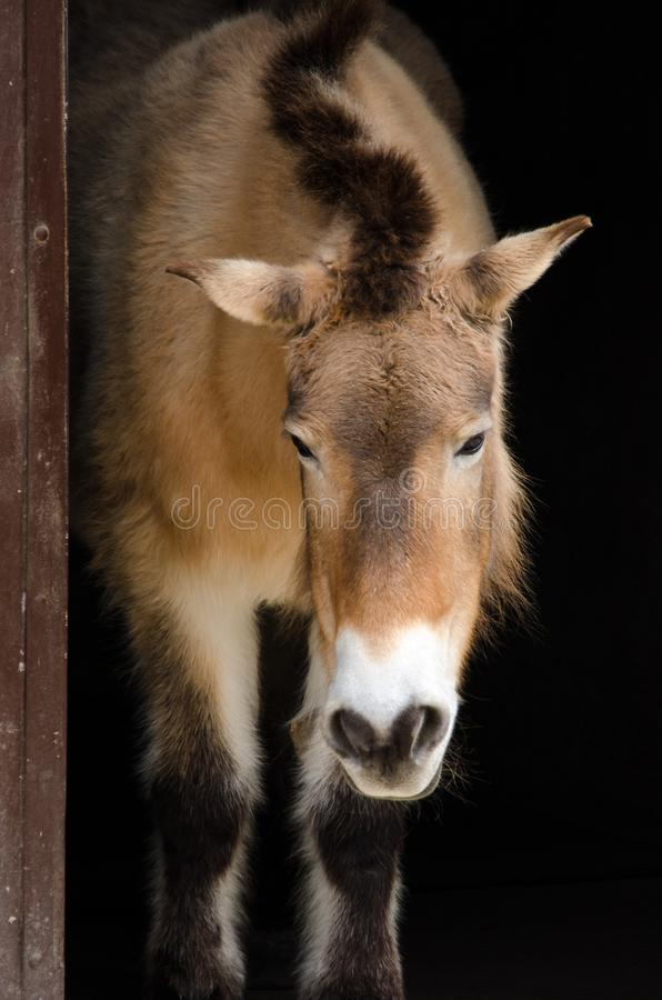 Long face Przewalski`s horse with head down stock photos