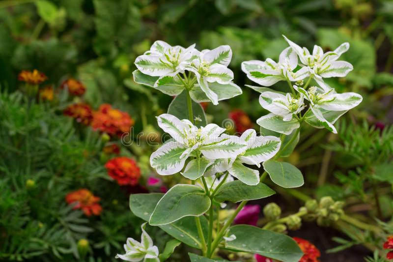 White-green spurge plant royalty free stock photo