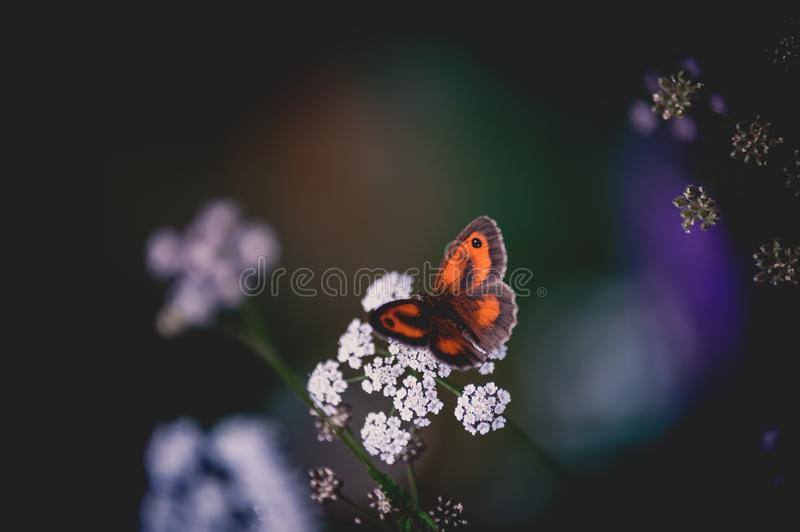 Insect alone orange brown butterfly posed on a white flower close up in summer. With a long focal length we manage to put the insect in its environment while royalty free stock images