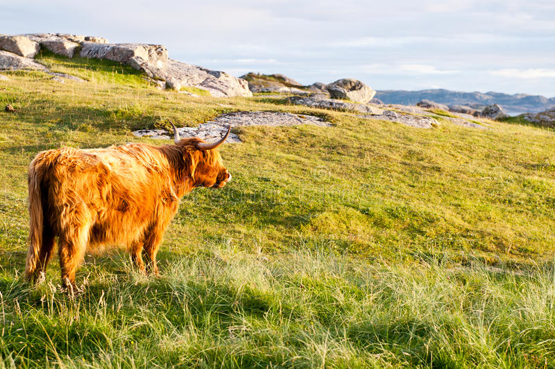 Long fur galloway cattle