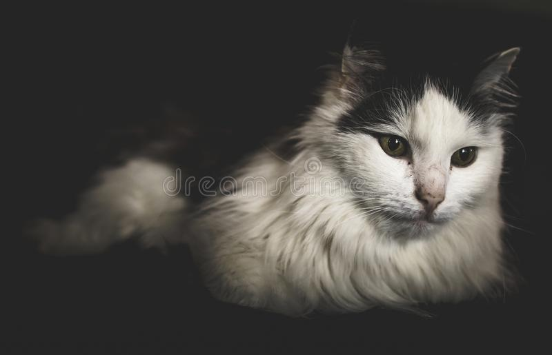 Long-fur White and Black Cat stock images