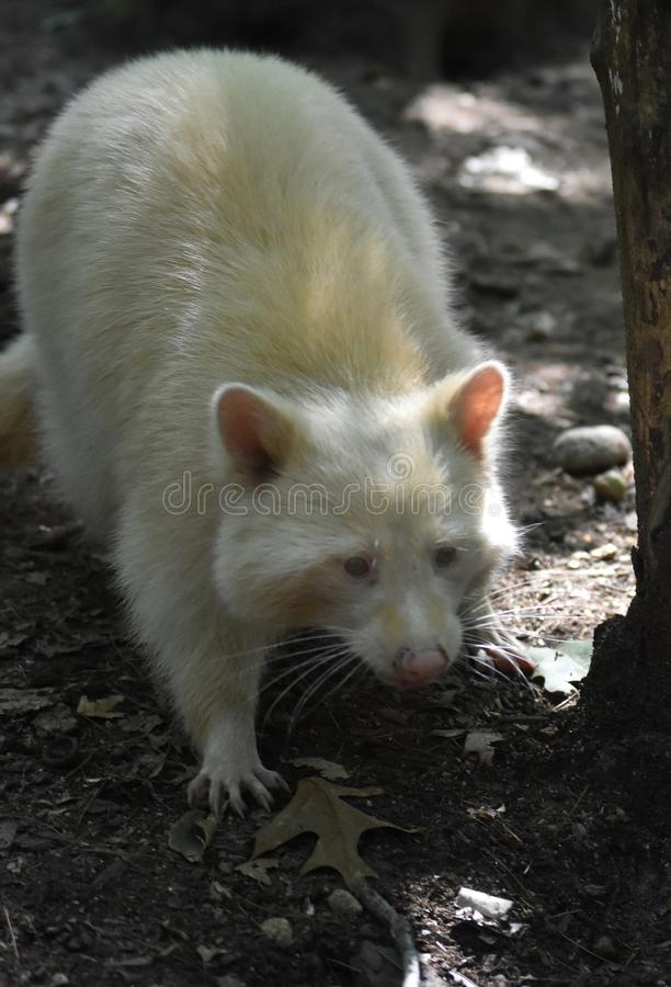 Unusual White North American Raccoon with Long Fur royalty free stock images