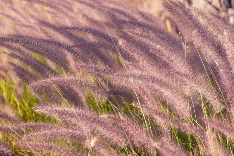 Long grass near the beach. Long grass blowing in the wind on a hot summers day royalty free stock photography
