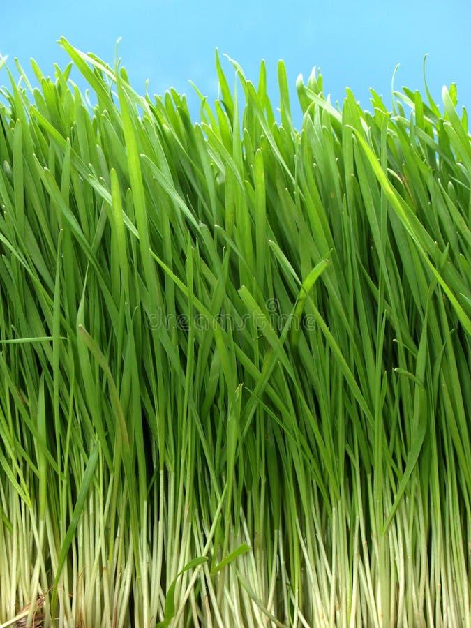 Free Long Grass Royalty Free Stock Image - 924406
