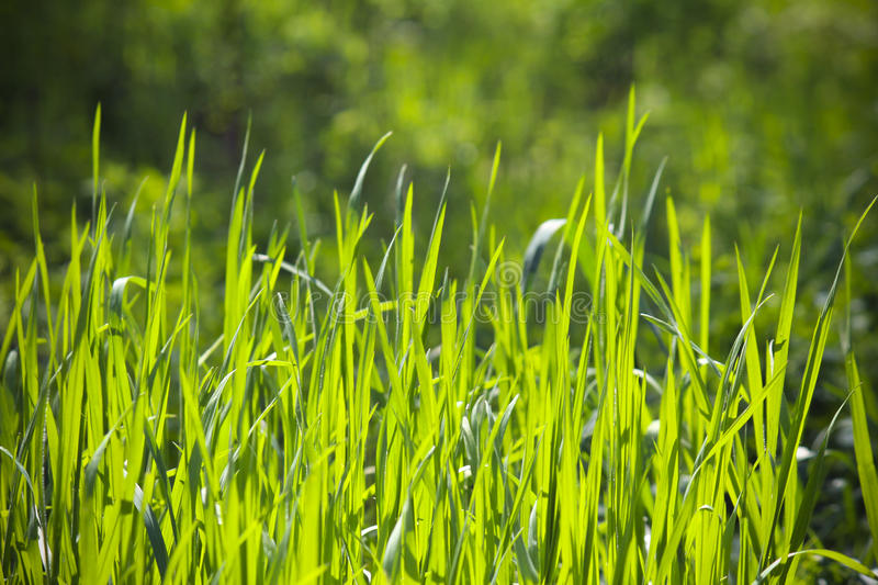 Long grass background royalty free stock photos