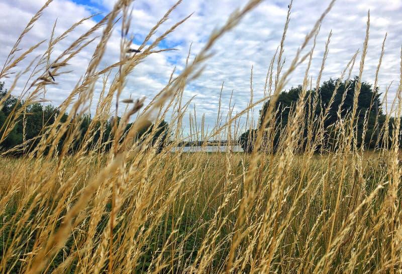 Long grass, estuary royalty free stock photos