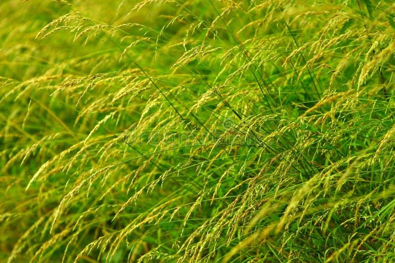 Long green grass stock images