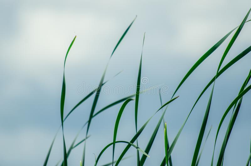 Long green grass and reeds isolated on white background with copy space royalty free stock images