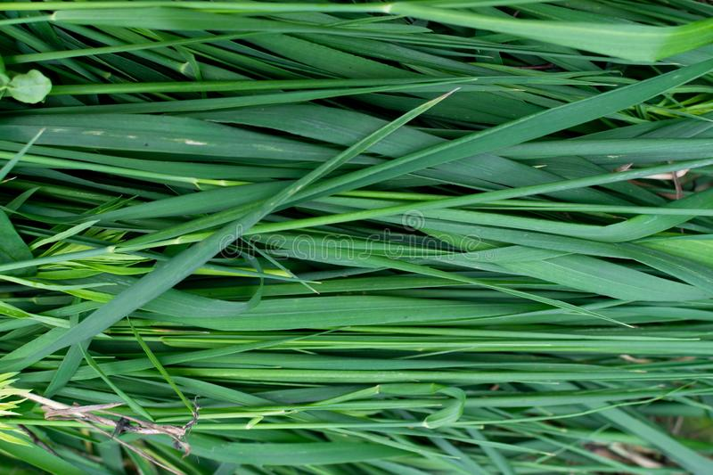 Long green grass striped background, natural leaves plant pattern or texture. Top view stock image
