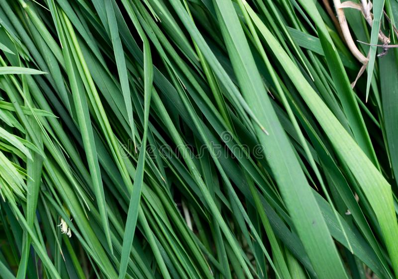 Long green grass striped background, natural leaves plant pattern or texture. Top view royalty free stock photo
