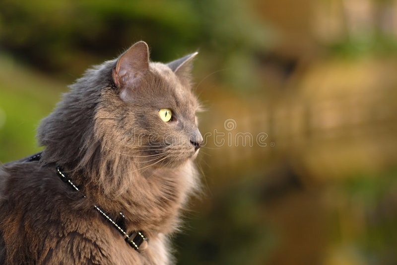 Long Hair Cat Stock Photo