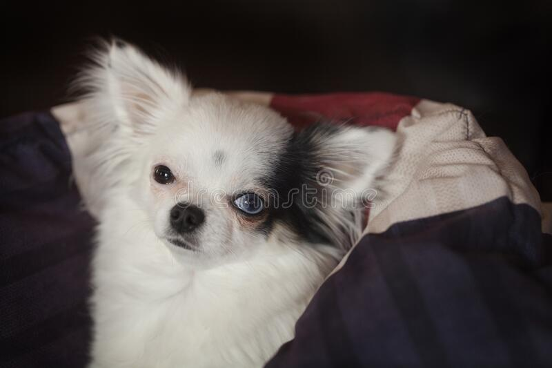 Long hair Chihuahua in a blanket. Beautiful long hair Chihuahua with one blue eye and one brown eye, getting warm in a cozy in a blanket stock images