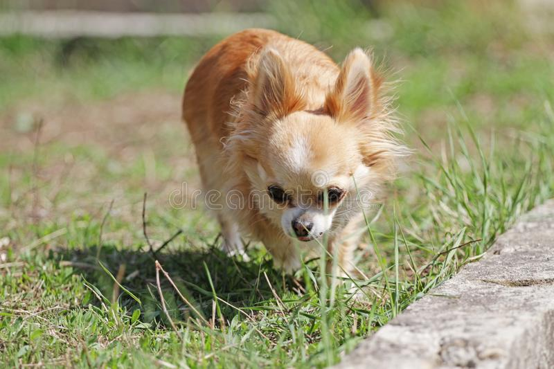 Long hair chihuahua dog. Longhair Chihuahua dog in green spring grass. Golden Longhair chihuahua playing outdoor in the park. Nealthy dog with anti-parasitic royalty free stock photos