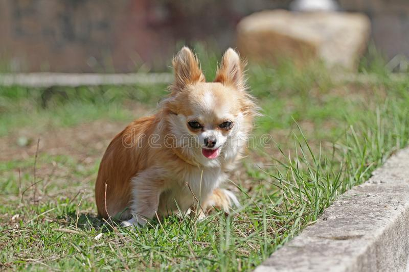 Long hair chihuahua dog. Longhair Chihuahua dog in green spring grass. Golden Longhair chihuahua playing outdoor in the park. Nealthy dog with anti-parasitic royalty free stock photo