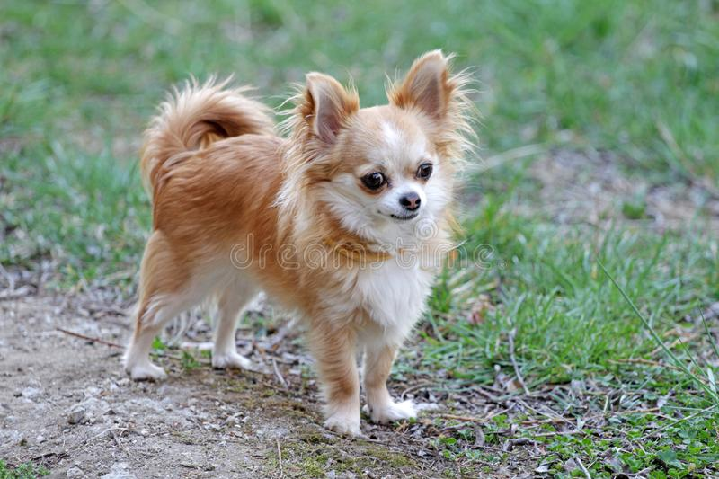 Long hair chihuahua dog. Longhair Chihuahua dog in green spring grass. Golden Longhair chihuahua playing outdoor in the park. Nealthy dog with anti-parasitic stock photo