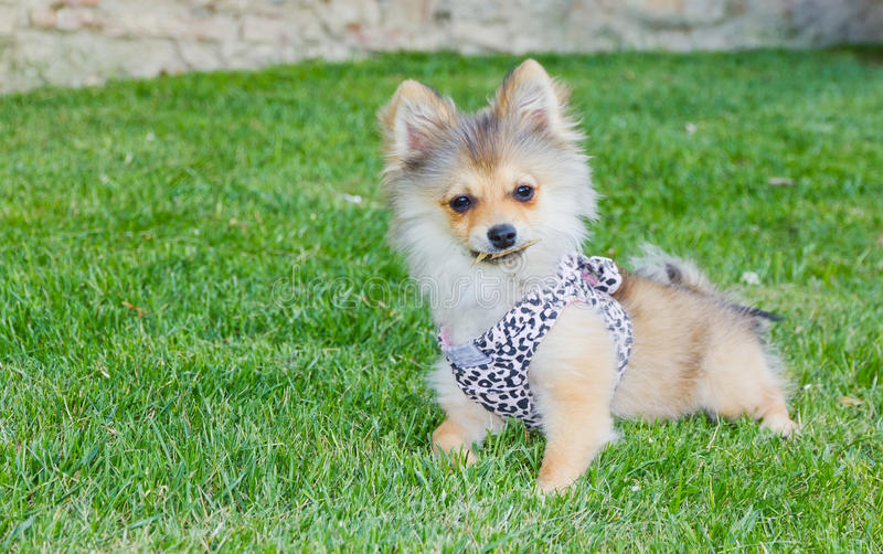 Download Long Hair Chihuahua On Grass Stock Photo - Image: 24389422