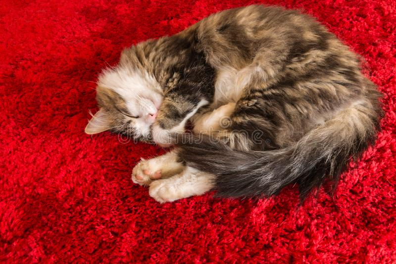 Long hair tabby cat sleeping curled up on red carpet royalty free stock photo