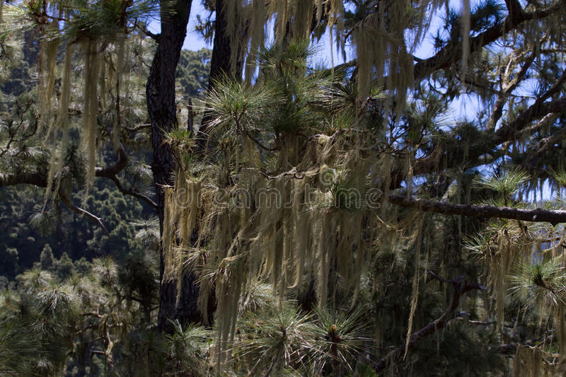 Long hair of Usnea barbata. Old pine forest in Tenerife, Canarian. Island stock image