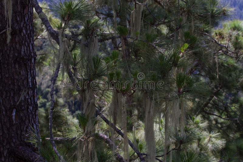 Long hair of Usnea barbata. Old pine forest in Tenerife, Canarian. Island royalty free stock photography